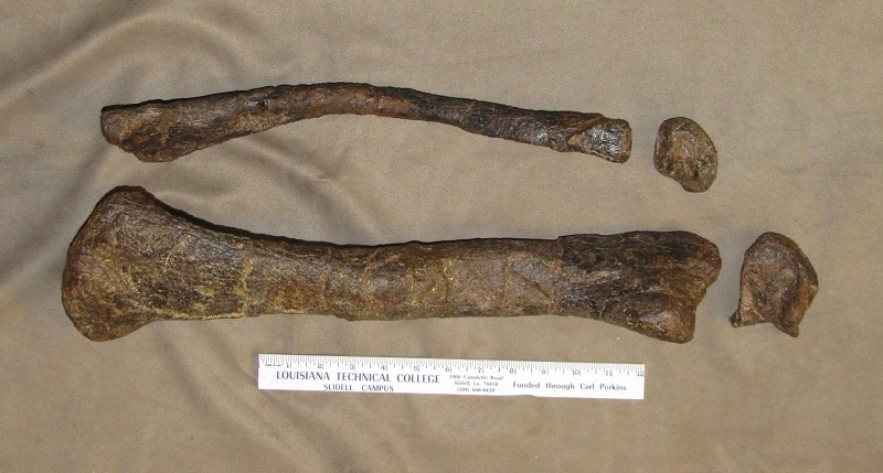 Camptosaurus Lower Leg and Ankle Bones