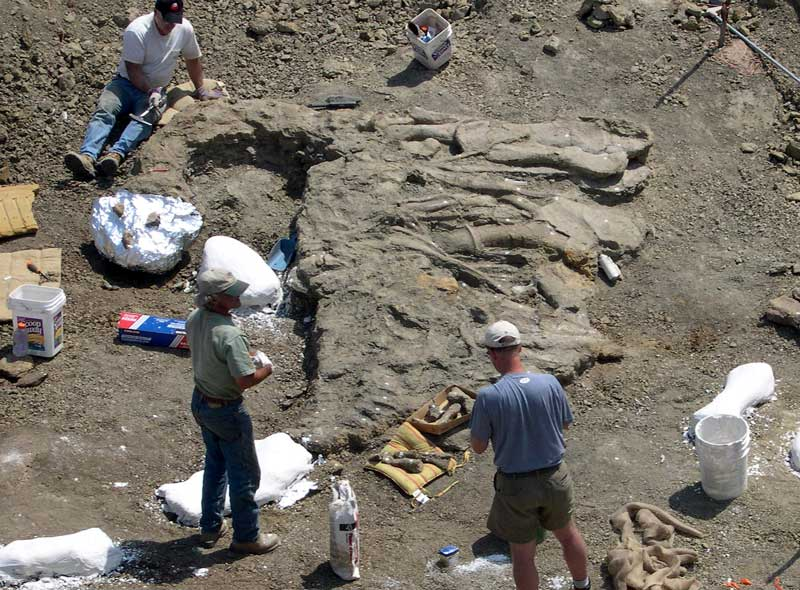 Junior Apatosaurus discovery in ground
